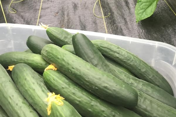 fresh-picked cucumbers
