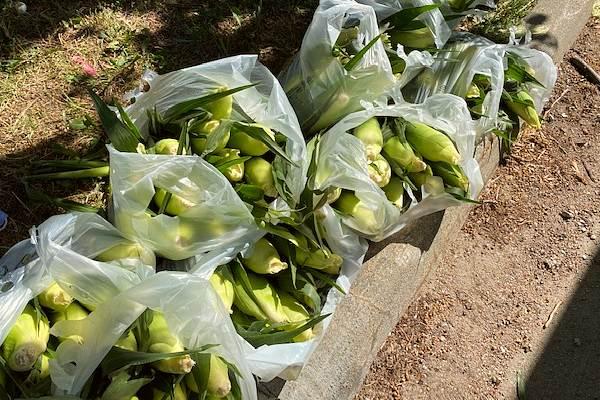 sweet corn by the dozen ears